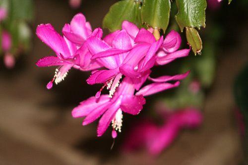 cactus noel 25 nov 2010 pp 011.jpg