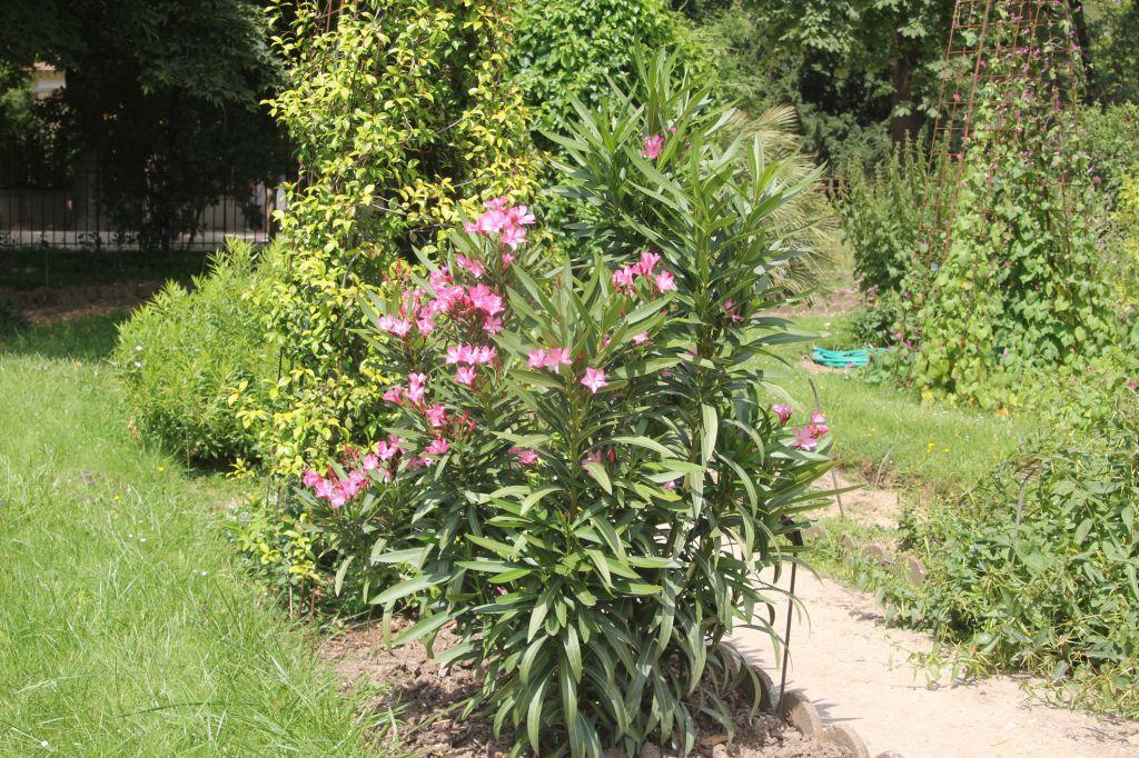 laurier rose villa romaine truffaut collection design inspiration pour le jardin. Black Bedroom Furniture Sets. Home Design Ideas