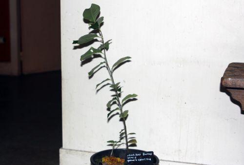 pseudocydonia veneux 18 nov 2012 002.jpg