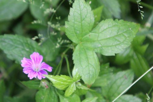 geranium nodosum 4 romi 9 juin 2012 105 (2).jpg