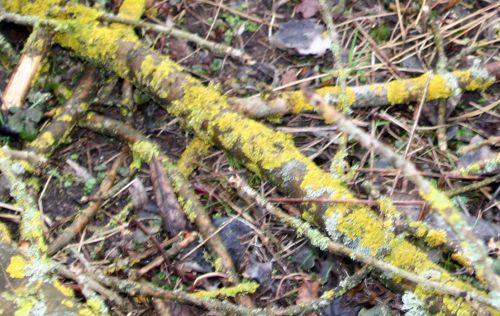 lichen romilly 23 fev 025.jpg