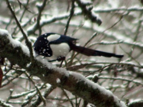 neige pie picore 20 février 011.jpg