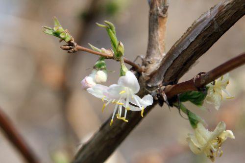 branche 3 lonicera fra gb 25 mars 2012 001 (1).jpg