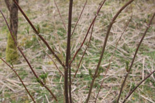 2 sambucus mandshurica romi 30 mars 2013 029.jpg