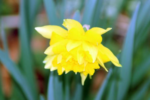 narcisse romi 8 mars 2014 001.jpg