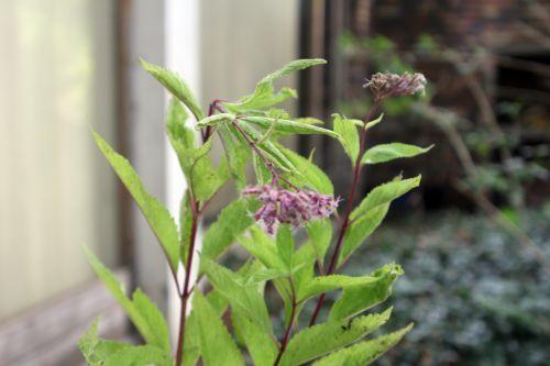 z eupatorium maculatum 25 août 2012 003.jpg