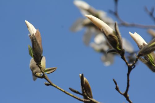 4 magnolia wada's memory gb 25 mars 2012 020.jpg