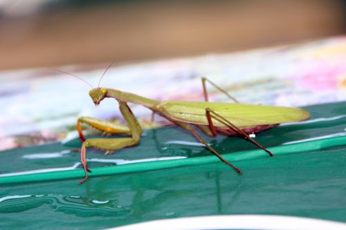 3 mantis romi 30 oct 2013 008.jpg