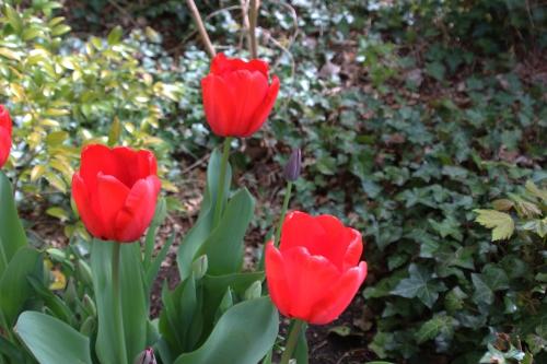 5 tulipes veneux 16 avril 2016 005 (1).jpg