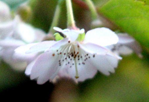 5 prunus subhirtella veneux 30 oct 2012 p 010 (9).jpg