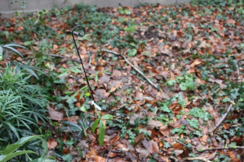 zantho subtrifoliatum  veneux 23 janv 2016 032 (1).jpg