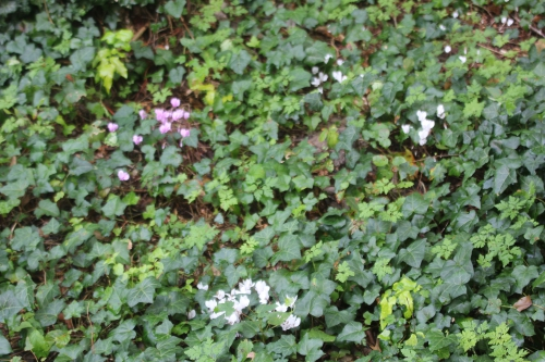 6 cyclamen hederifolium veneux 27 août 2017 004.jpg