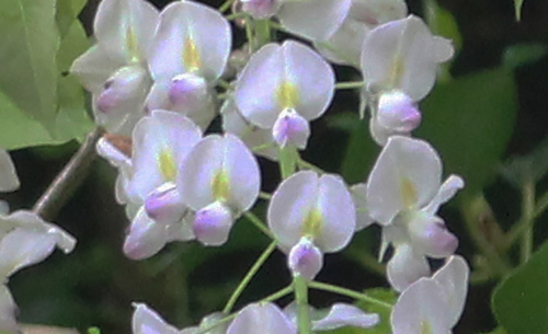 10 wisteria 2 mai 2015 pr 018.jpg