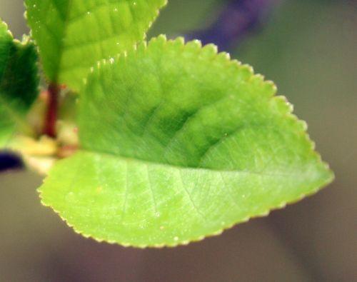 cerisier je rec 11 avril 2011 177.jpg