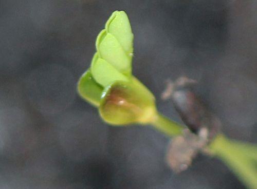 5 acacia pravissima profil 22 fev 2012 009.jpg