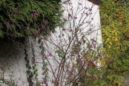 10 callicarpa veneux 14 nov 2016 003.jpg