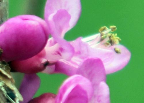 7 cercis chinensis rec romi 13 avril 2012 046.jpg