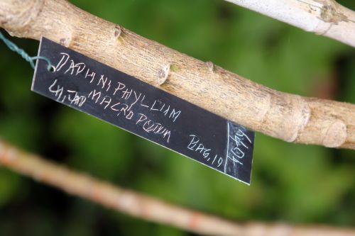 étiq daphniphyllum gb 6 oct 2012 099.jpg
