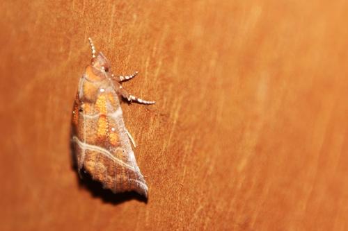 3 papillon veneux 6 janvier 2017 006.jpg
