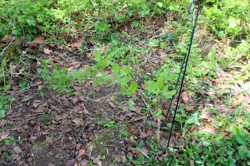 5 quercus pubescens romi 22 avril 2014 009 (3).jpg