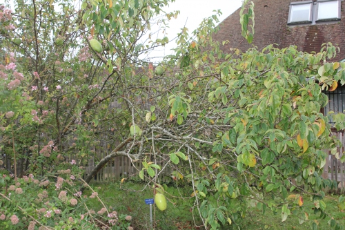 7 pseudocydonia sinensis barres 11 oct 2014 006 (1).jpg