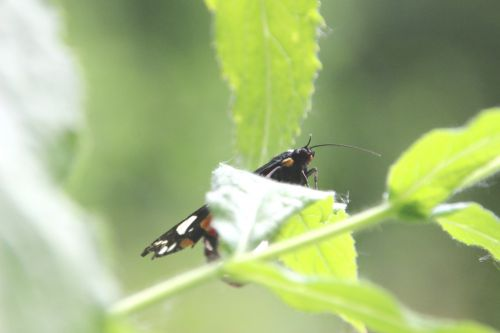 callimorpha dominula 1 romi 1 juil 2014 015 (3).jpg