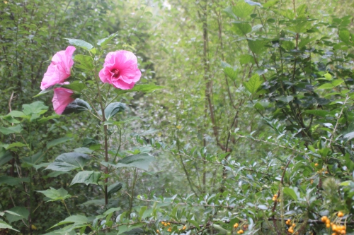 1 hibiscus moscheutos solene 11 sept 2016 099.jpg