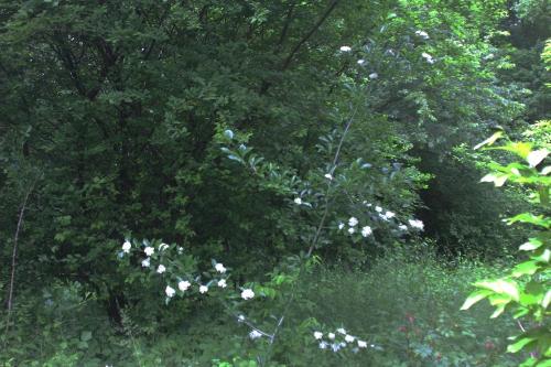 1 crataegus pedicellata romi 29 mai 2015 041 (1).jpg
