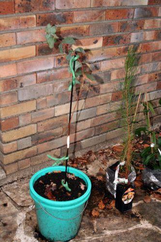 1 eucalyptus tronc veneux 20 fev 2011 002.jpg