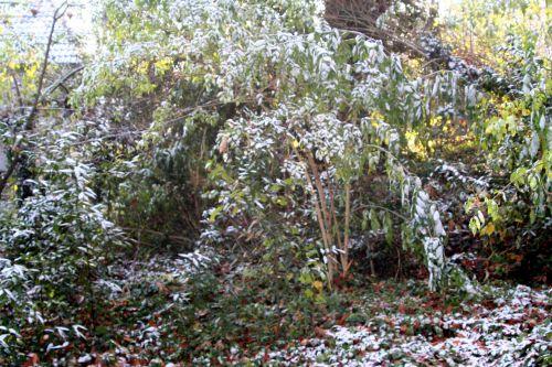palmensis 27 nov 2010 001.jpg