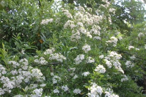 19 hydrangea bretschn veneux 23 mai 2017 031.jpg