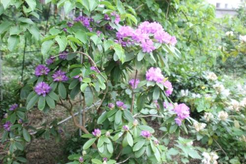 6 rhododendron catawbiense veneux 12 mai 2018 005 (8).jpg