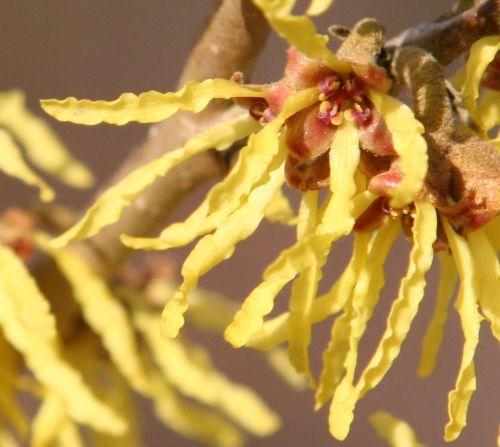 hamamelis fleur romilly 24 fev 006.jpg