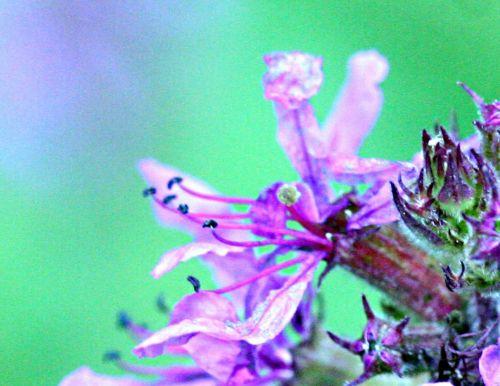 14 salicaire fleur romi 22 juil 2010 p 146.jpg