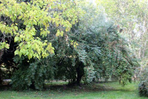 1 elaeagnus umbellata barres 12 oct 2013 018 (1).jpg