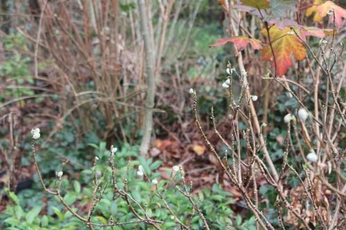 11 edgeworthia veneux 25 déc 2014 007 (1).jpg