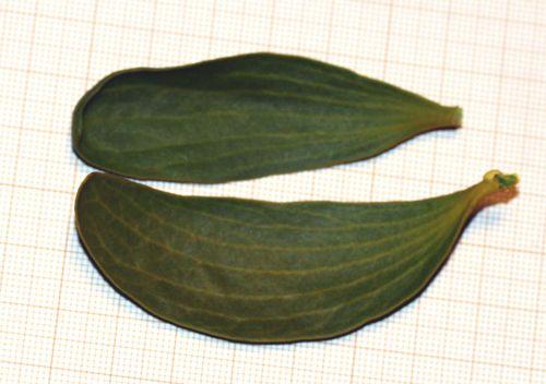 viscum feuilles près 1 jan 2011 043.jpg