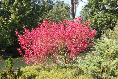 1 euonymus alatus gb 16 sept 2012 124.jpg