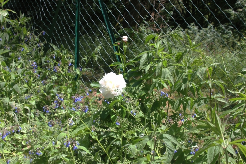 2 paeonia romi 4 juin 2015 016 (2).jpg