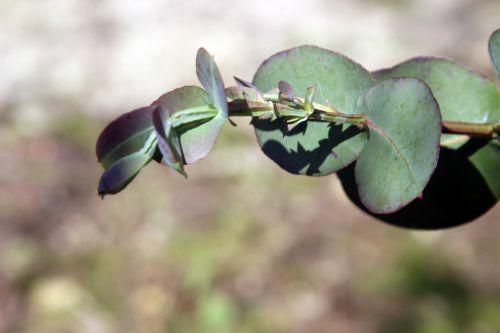 5 eucalyptus neglecta marnay 1 juin 2013 048.jpg