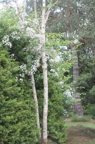 1 paul's himalayan betula ermanii gb 14 juin 2015 031.jpg