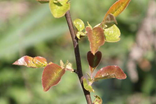 16 pseudocydonia romi 20 avril 2012 063.jpg