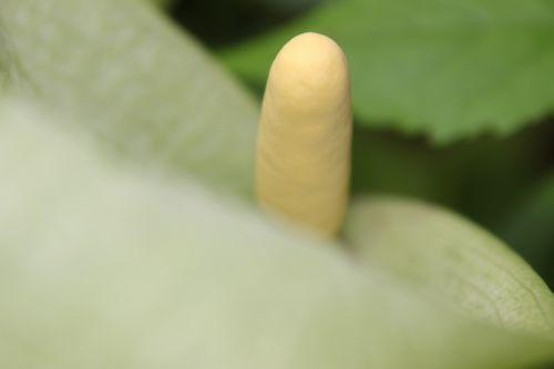 arum italicum veneux 29 avril 2014 006.jpg