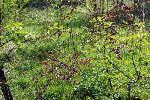 berberis ottawensis romi 11 avril 2014 084 (1).jpg