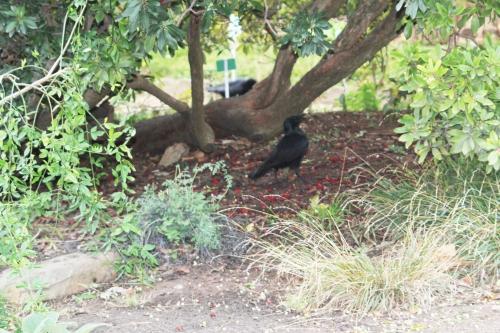 arbutus corneille paris 4 déc  2011 072 (2).jpg
