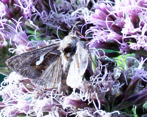 papillon pointe thorax 6 sept 2008 139.jpg