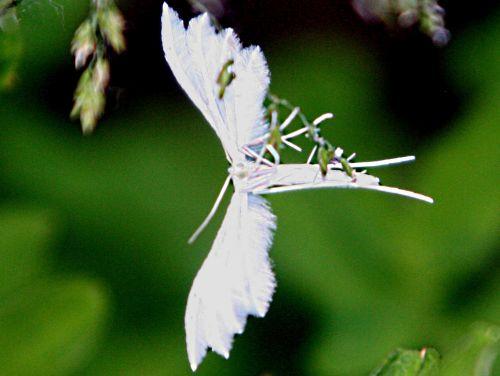 pterophore romi 4 juin pp 059.jpg