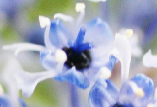 ceanothus arboreus fl veneux 25 avril 2015 061 (3).jpg