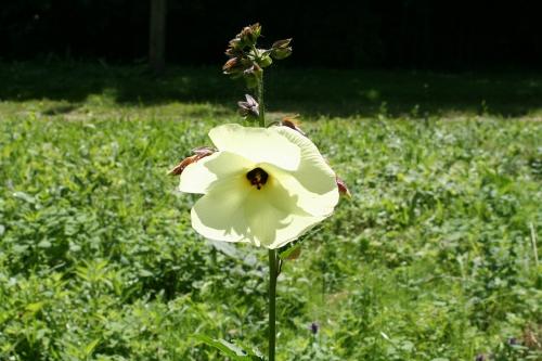 6 hibiscus manihot 2 juillet  035.jpg