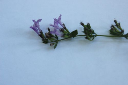 5 clinopodium 16 sept 2014 006.jpg